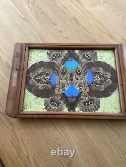 Vintage Taxidermy Butterflies Serving Tray Inlaid Wood Beautiful 19 X 13 Inches